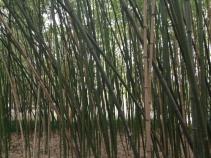 Ein Bambuswald