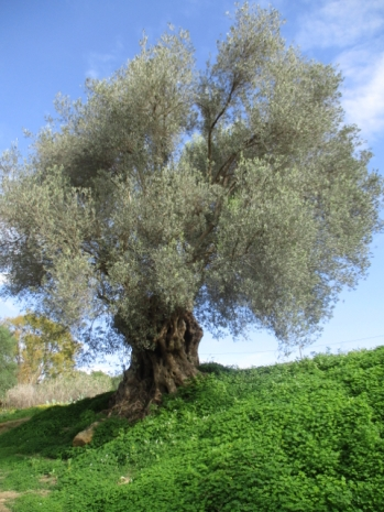 Was für ein wunderschöner alter Olivenbaum <3